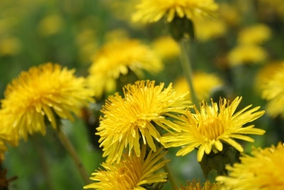 Some Thoughts on Open Learning:  Ode to the Dandelion