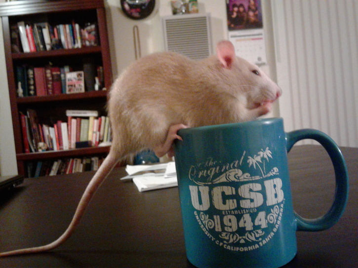 "A young pet rat balancing on the rim of a coffee cup that says ""UCSB"""